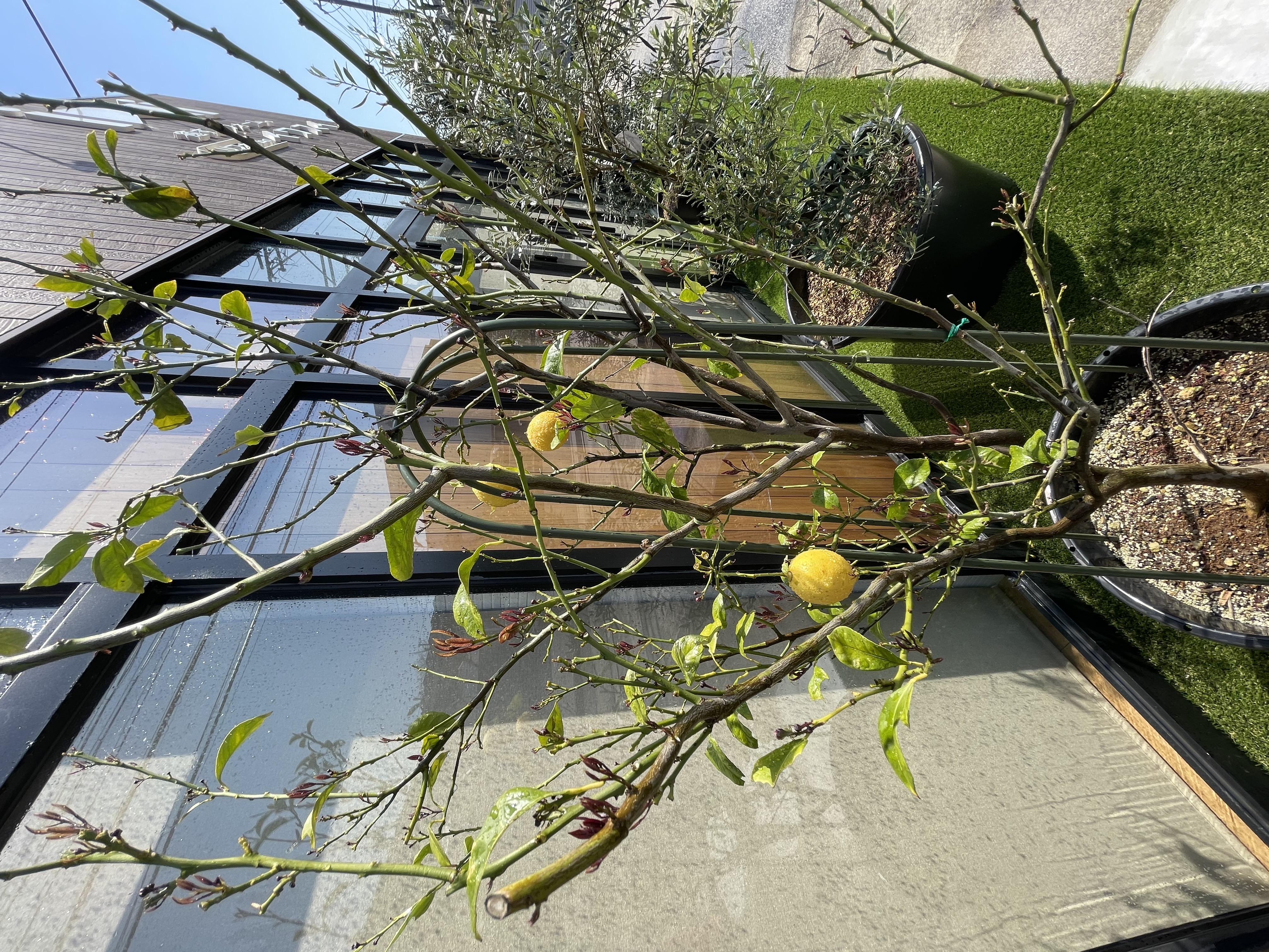 イワスイ植物 レモンの木