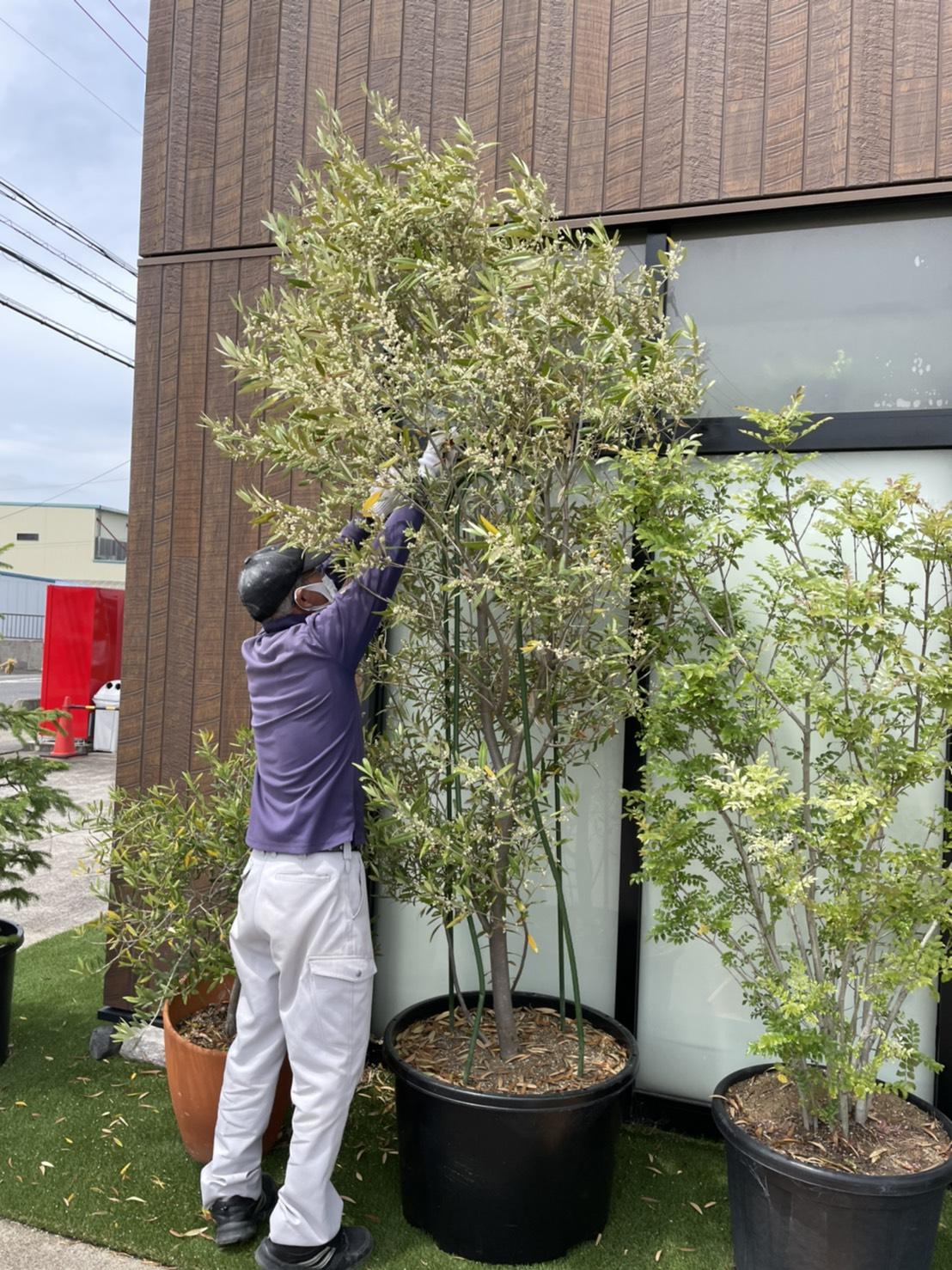 オリーブの木 剪定 & 夏の花へ入れ替え